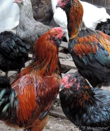 Гилянская порода кур, Gilan breed chickens PUnF7